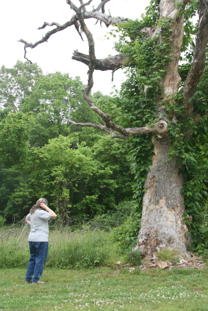 we're pretty sure this huge tree is covered in poison ivy